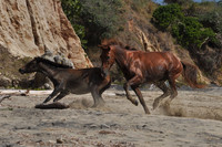 Wild horses descended from those brought over by the Spanish conquistadores in the 1500s are a high point of a visit to the Puerto Rican island of Vieques. Photo courtesy of Fyllis Hockman.