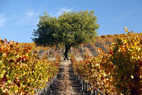 The Acacia Winery between Napa and Sonoma in California is especially beautiful in the autumn. Photo courtesy of www.hansentravel.org.