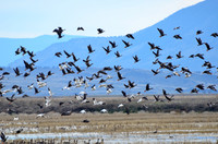 Snow geese and greater white-fronted geese take flight from marshland in Oregon's Lower Klamath Lake National Wildlife Refuge. Photo courtesy of Donna Barnett.