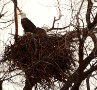 A wintering pair of bald eagles visit their nest in an old willow tree at the Lower Klamath Lake National Wildlife Refuge in Oregon. Photo courtesy of Donna Barnett.