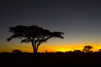 As well as being beautiful, acacia trees also provide sustenance to many of the animals in Tanzania's Ngorongoro Crater in Tanzania. Photo courtesy of Abercrombie and Kent.