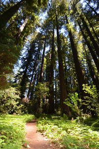 Sunshine spotlights the path to the redwoods in Big Hendy Grove in Hendy Woods State Park in Mendocino County California. Photo courtesy of Donna Barnett.
