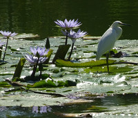 An egret lands on a lily pad at the Amaitlan botanical garden on Stone Island near Mazatlan, Sinaloa, Mexico. Photo courtesy of Stuart Wasserman.