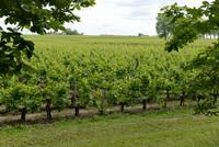 Bordeaux, France, is among the largest wine-producing areas in the world. Photo courtesy of Halina Kubalski.