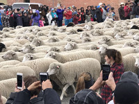 Some 1,500 sheep take part in the final parade at the Trailing of the Sheep Festival in Ketchum, Idaho. Photo courtesy of Nicola Bridges.