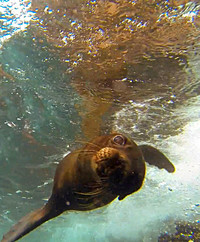 A curious sea lion swims close to an underwater camera in the Galapagos Islands. Photo courtesy of Philip Courter.