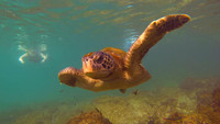A sea turtle swims alongside a snorkeler in the Galapagos Islands. Photo courtesy of Philip Courter.