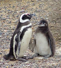 A penguin nuzzles her baby on a beach at the Punto Tombo National Reserve on Argentina's central coast. Photo courtesy of Philip Courter.