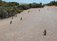 Penguin parents head for the sea to do some fishing at Punta Tombo Reserve on Argentina's central coast. Photo courtesy of Philip Courter.
