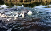 A pod of dolphins gathers for feeding in Crystal River, Florida. Photo courtesy of Philip Courter.