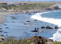 . Once a year Southern Elephant Seals migrate to Las Piedras Blancas Rookery in Cambria, California, to molt and grow new fur. Photo courtesy of Athena Lucero.