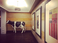 One of several art installations, a life-size cow attends the elevators at the Kimpton Monaco hotel in Denver, Colorado. Photo courtesy of Nicola Bridges.