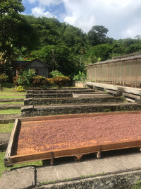 Cacao beans at Belmont Estate in Grenada dry in the sunshine. Photo courtesy of Nicola Bridges.