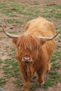 Visitors to Branson, Missouri, can have up-close encounters with Scottish Highland Herefords at Bigfoot Fun Park. Photo courtesy of Fyllis Hockman.
