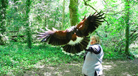 Beckett, a Harris's hawk, lands on the author's arm at the Ireland School of Falconry at Ashford Castle in County Mayo. Photo courtesy of Philip Courter.