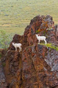 Dall sheep climb to spectacular heights in Alaska's Denali National Park and Preserve. Photo courtesy of Michael De Young, Denali National Park.