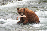 July, when salmon are running, is the best month to see bears in Alaska's Denali National Park and Preserve. Photo courtesy of Peter Kronenmann.