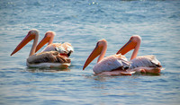 Texas is a good place for bird-watchers to find great white pelicans. Photo courtesy of Henketv/Dreamstime.com.