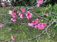 Cherry blossoms arrive at Shikinaen Royal Garden in Naha, Okinawa, Japan. Photo courtesy of Philip Courter.