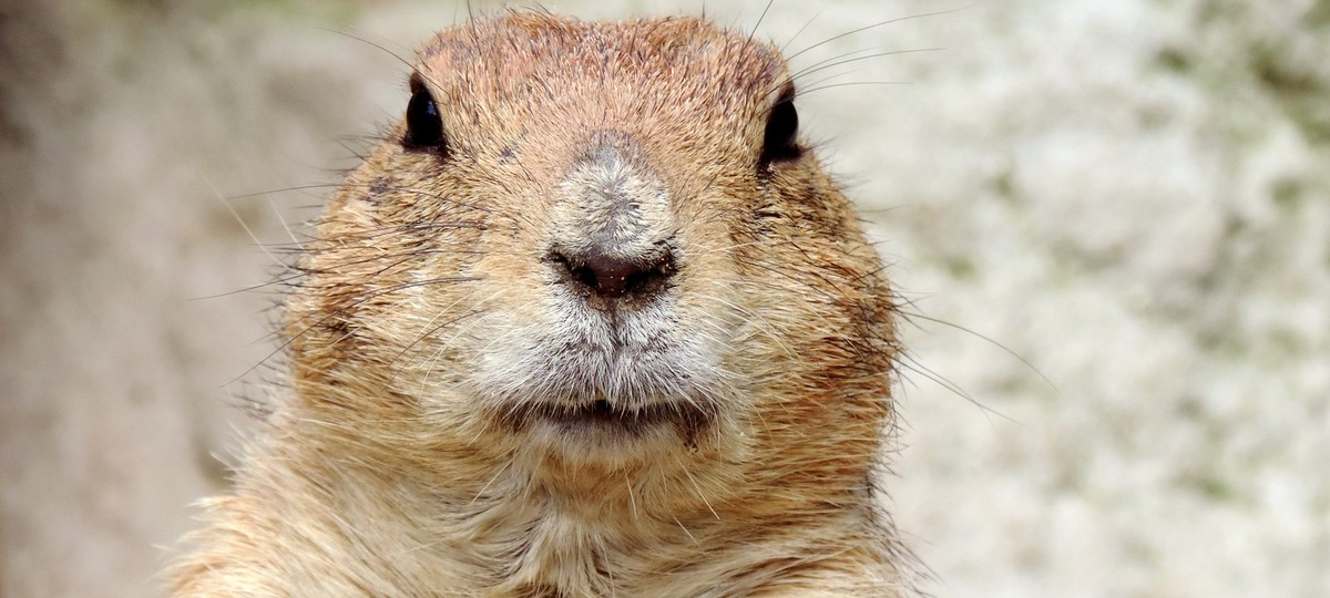 Groundhog Day in America